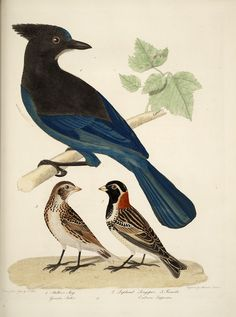 Bonaparte, Charles Lucian, 1803-1857 / American ornithology, or, The natural history of birds inhabiting the United States, not given by Wilson : with figures drawn, engraved, and coloured, from nature (1828) 1. Steller's jay. 2. Lapland longspur. 3. Female, pp. [unnumbered]-52
