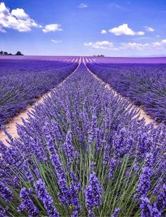 The post Forget strawberries Purple fields forever! appeared first on Easy flowers. Lavender Cottage, Lavender Fields, Lavender Flowers, Purple Flowers, Lavander, Flowers Garden, Beautiful Flowers, Beautiful Places, Lavender Aesthetic