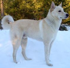 Canaan Dog......gotta love those dogs that look like about 10 other breeds or mixed breeds. Confussssionnnnn