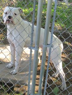 What a beautiful do Lincoln is.  He is still waiting on his forever home so please hurry.  Please don't wait this is a KILL SHELTER!  Picked up as a stray on 10/30.  Available on 11/4.$ 86.00 fee includes license, 5 way shot if able and available. $50.00 goes to the cost of spay/neuter and rabies. We take cash only, no checks, or credit cards. Because most of our dogs in the...
