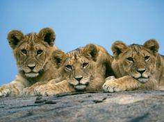 Sleepy Lion Cubs Hintergrundbilder Tiere Raubkatzen