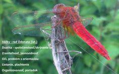 Odonata, vážky, vlastnosti