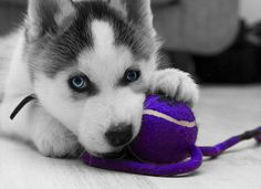 Siberian Husky puppy with a ball photo and wallpaper. Beautiful Siberian Husky puppy with a ball pictures Cute Husky Puppies, Siberian Husky Puppies, Siberian Huskies, Husky Puppy, Dogs And Puppies, Huskies Puppies, Doggies, Pomsky Puppies, Baby Dogs