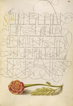 Joris Hoefnagel (illuminator)  [Flemish / Hungarian, 1542 - 1600], and Georg Bocskay (scribe)  [Hungarian, died 1575],                              French Marigold,                              Flemish and Hungarian, 1561 - 1562