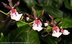 Longwood Gardens Orchids-42