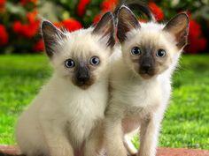 Wallpaper of Siamese Kittens for fans of Domestic Animals. Two Cute Kittens Cute Kittens, Siamese Kittens, Cute Kitten Gif, Cats And Kittens, Baby Cats, Ragdoll Cats, Kitty Cats, Tier Wallpaper, Cute Cat Wallpaper