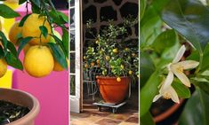 14 dolog, amit nem tudtál a dézsás citrusfélékről Stuffed Peppers, Vegetables, Plants, Food, Stuffed Pepper, Essen, Vegetable Recipes, Meals, Plant