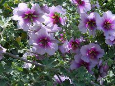 La lavatère, une vivace arbustive remarquable. Une floraison prolongée et une culture des plus faciles.