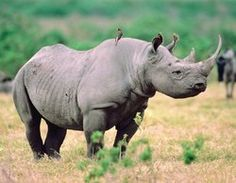 "Often you'll see an oxpicker or ""tick bird"" with African rhinoceros—they warn of danger and eat the ticks off of the rhino."