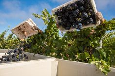 Napa Valley Harvest 2016 To learn more about the #NapaValley Wine Trolley and our tours click here: https://www.napavalleywinetrolley.com/