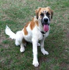 Blossom is an adoptable Saint Bernard St. Bernard Dog in Carthage, NC. Im going to be pretty awesome when I grow up!!! I need someone who can help me grow. I like people, children and dogs, but I need...