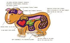 Guinea pig Anatomy omg xD