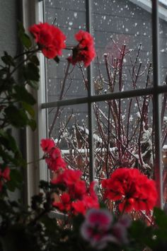 Beautiful snowy day… gorgeous red Geraniums blooming in a window…