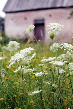 Queen Anne's Lace grew in abundance, and we happily collected them for fancy parasols for our dolls and Barbies.