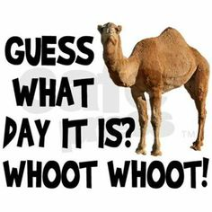 Happy Wednesday! #humpday #funny #camel