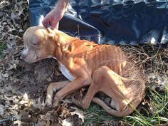 WHY? This 2 yr 25 lb pit bull may've been caged, starved & neglected in LORAIN, OH. The Lorain Police arrived at 816 W.11th St & found a severely emaciated dog in the worst condition imaginable-motionless; HE COULDN'T WALK & COULD BARELY RAISE HIS HEAD. At the vet, his fate is unclear. Off. Broz, 23 yrs on the force,10 yrs a medic said he'd never seen a dog so emaciated alive & was the 1st time he cried on the job. ANY INFO on the owner CALL 440-204-2555 Lorain PD God Bless this pup, ROCKY