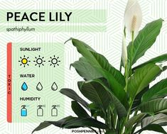 the peace lily is an extremely easy, low maintenance houseplant. it's one of the best indoor plants that are easy to keep alive Indoor Plant Lights, Plant Lighting, Best Indoor Plants, House Plants Decor, Plant Decor, Low Light Plants, Living Room Redo, Peace Lily, Small Garden Design