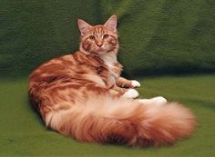 Orange Maine Coon - Awesome!!! http://www.mainecoonguide.com/male-vs-female-maine-coons/