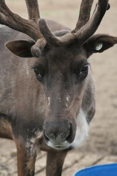Reindeer Farm    Anchorage, Alaska.