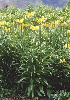 Fritillaria Imperialis Lutea Flowers by Vaughan Fleming