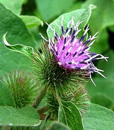 Uses for Burdock