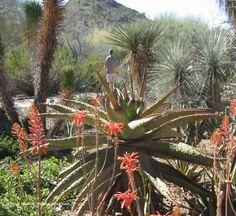 Your comprehensive guide to Desert Botanical Garden. Desert Botanical Garden, commonly referred to as DBG, is in Phoenix, Arizona. Desert Botanical Garden, Botanical Gardens, Places To Travel, Places To See, Travel Stuff, Easy Adventure, Stuff To Do, Things To Do, Desert Environment