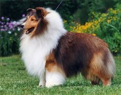 Shetland Sheepdog, sable  white with tan. Intelligent, loyal, affectionate, reserved toward strangers, alert.