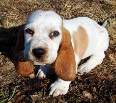 butterscotch the basset hound
