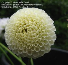 Dahlia 'Tiny Treasure' (Dahlia). Very cute small pompon. Only 1.5 inches in diameter. Plants grows to about 3 feet.