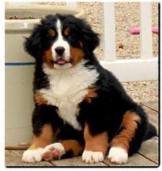 Bernese Mountain Dog Rescue Wa