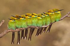 Swallow talied bee eaters (all in a row)