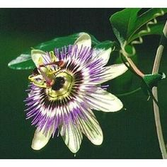 Unusual yet beautiful 3 inch flowers, followed by edible fruits after a hot summer. A self clinging climber from Brazil, but one of the hardiest of the passion flowers. Suitable for greenhouse, conservatory, houseplant, or outside against a sheltered wall. Flowers early summer to autumn.