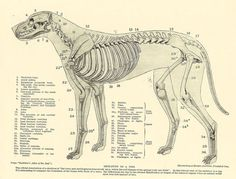 differences of skeleton of a border collie - Google Search