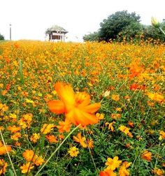 가을에 찾아오는 반가운 손님, 황화코스모스로 가득한 올림픽공원 들꽃마루