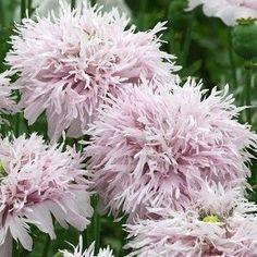 lilac pompom poppy