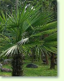 die besten 25 hanfpalme ideen auf pinterest palmen garten palmen pflanzen und winterharte palmen. Black Bedroom Furniture Sets. Home Design Ideas