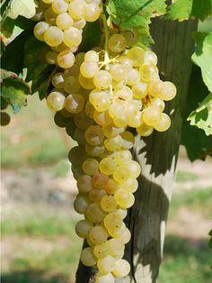 DIvino in vini: Vitigno Trebbiano