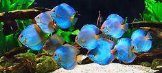 Diskus Aquarium, Tropical Fish Aquarium, Aquarium Design, Discus Tank, Discus Fish, Tropical Freshwater Fish, Freshwater Aquarium Fish, Pretty Fish, Beautiful Fish
