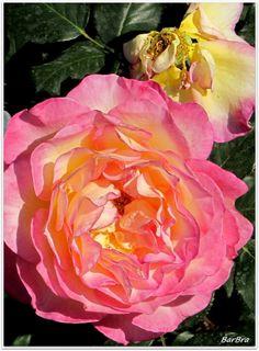 Rose dai petali grandi e trasparenti come un velo, scure, chiare, morbide ... http://zibalbar-foto.overblog.com/2014/06/e-il-tempo-delle-rose.html