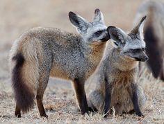 Bat-eared Foxes, Mara