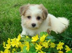 havanese puppy...i would like one please:)