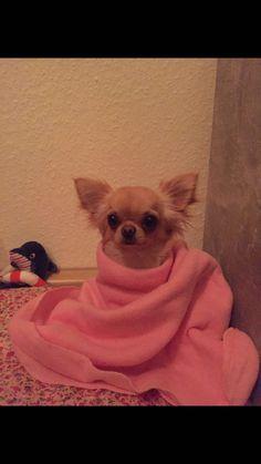 Chihuahua, Ice, Ice Cream, Chihuahua Dogs, Chihuahuas