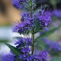 Caryopteris 'Dark Knight' Bluebeard Caryopteris ZONE: 5-9 BLOOM COLOR: bluish-purple BLOOM TIME: July-September FOLIAGE COLOR: gray green SHAPE/FORM: upright, spreading SUN EXPOSURE: full sun SIZE: 2′ x 2′ SOIL CONDITION: medium moisture GROWTH RATE: moderate