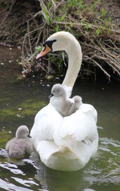 Swan Song, Cute Pictures, Families, Flora, Oc, Birds, Beautiful, Beautiful Birds, Birds Photos