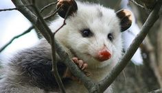 Opossums: The Unsung Heroes Against Lyme Disease And Other Tick-Borne Diseases. Opossums can kill over 5000 ticks in a week, preventing countless cases of Lyme disease.