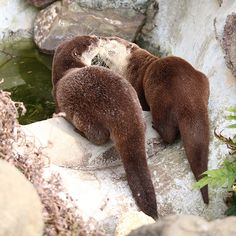 Otters Have a Poolside Smooch — The Daily Otter Nature Animals, Baby Animals, Cute Animals, Animal Pictures, Cute Pictures, Otter Love, Baby Otters, River Otter, Tier Fotos