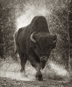 Buffalo | A wild woodlands buffalo in northern BC. It's star… | Flickr