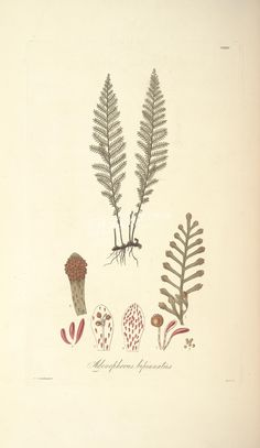 adenophorus bipinnatus (L)      ...