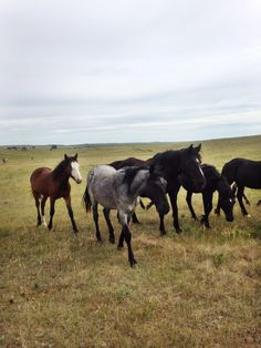 Visiting the Nokota Horse Conservancy. Only identifiable one is Corozan (heart shaped blaze). The mare pasture is heaven on earth.
