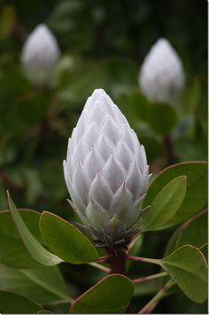 Autumn blossom, Mount Tomah Botanic Garden. White Protea!